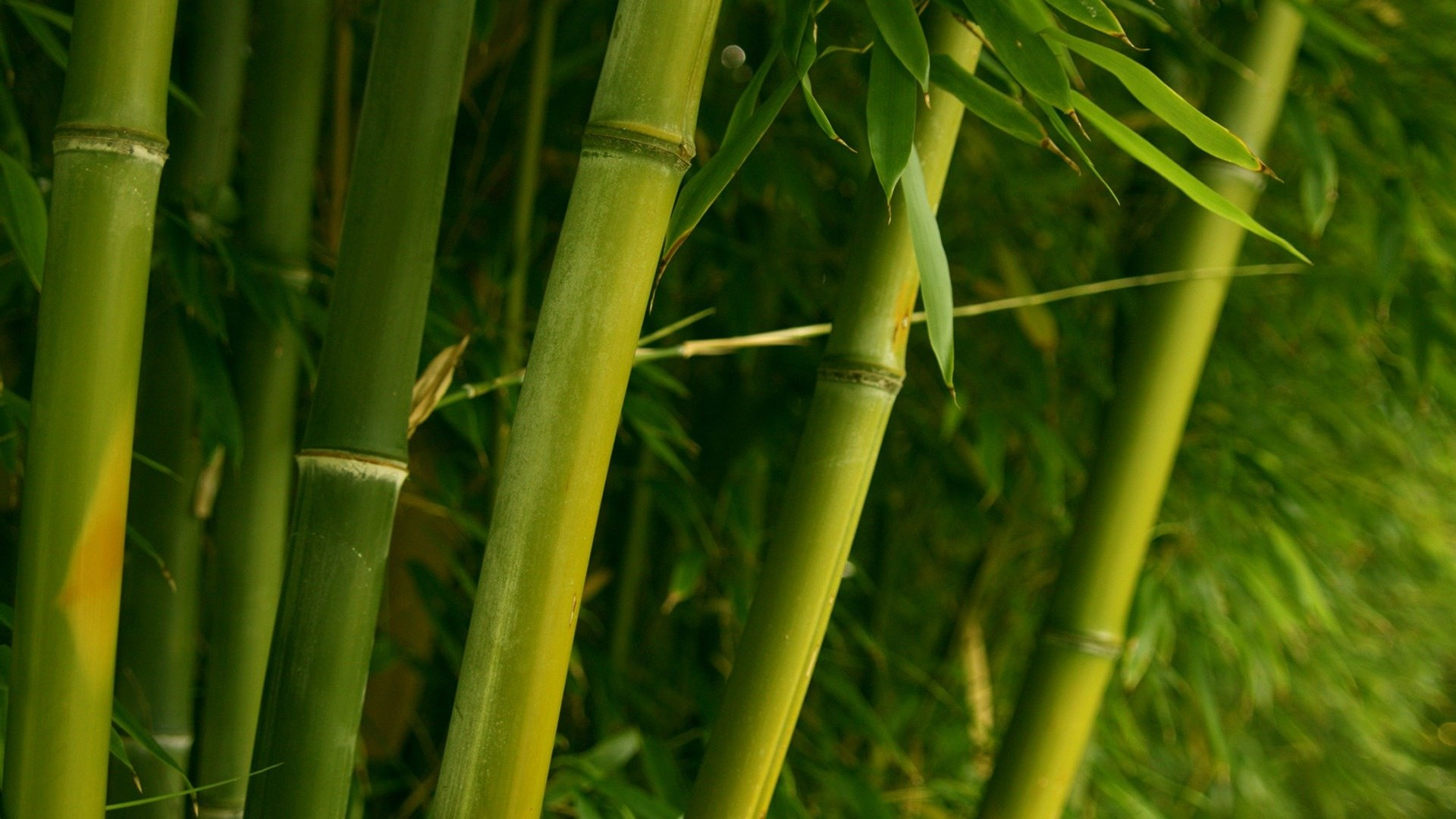 Download full hd Bamboo PC background ID:246859 for free