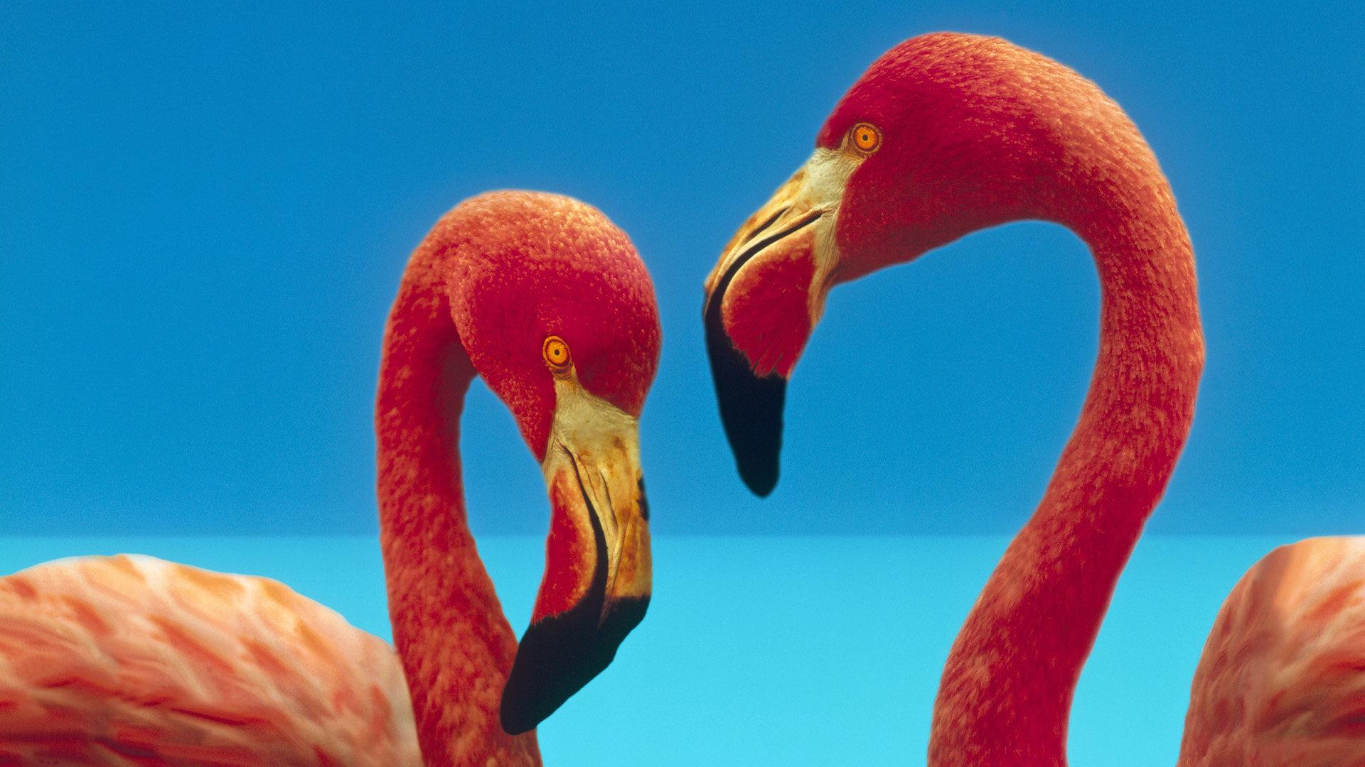 Download Hd 1080p Flamingo Desktop Wallpaper Id 66717 For Free