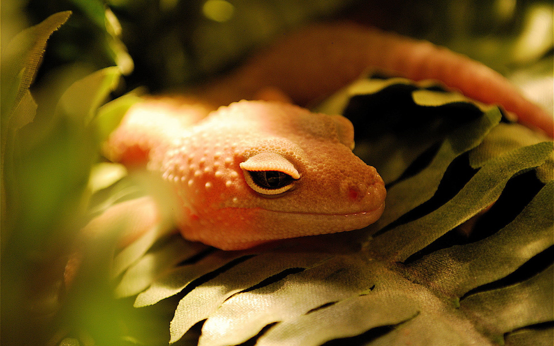 High resolution Gecko hd 1920x1200 wallpaper ID:114522 for PC