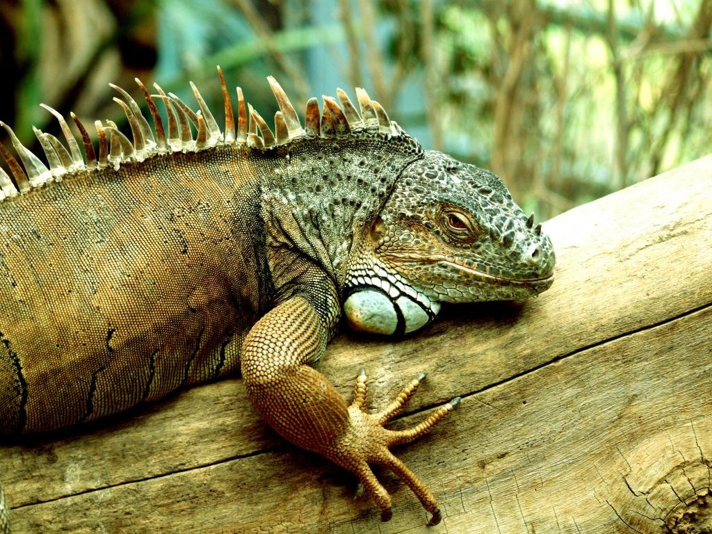 Best Iguana background ID:380934 for High Resolution hd 1024x768 desktop