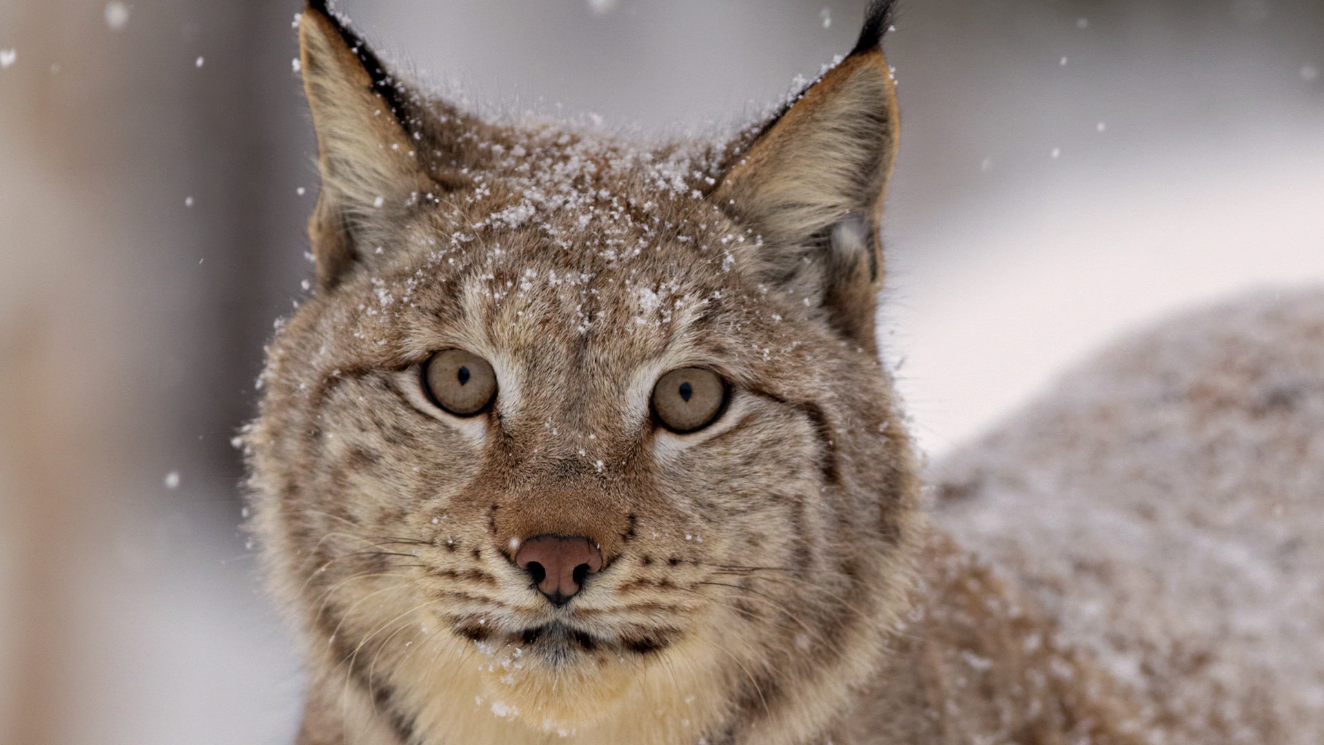 Download 1080p Lynx computer background ID:105907 for free