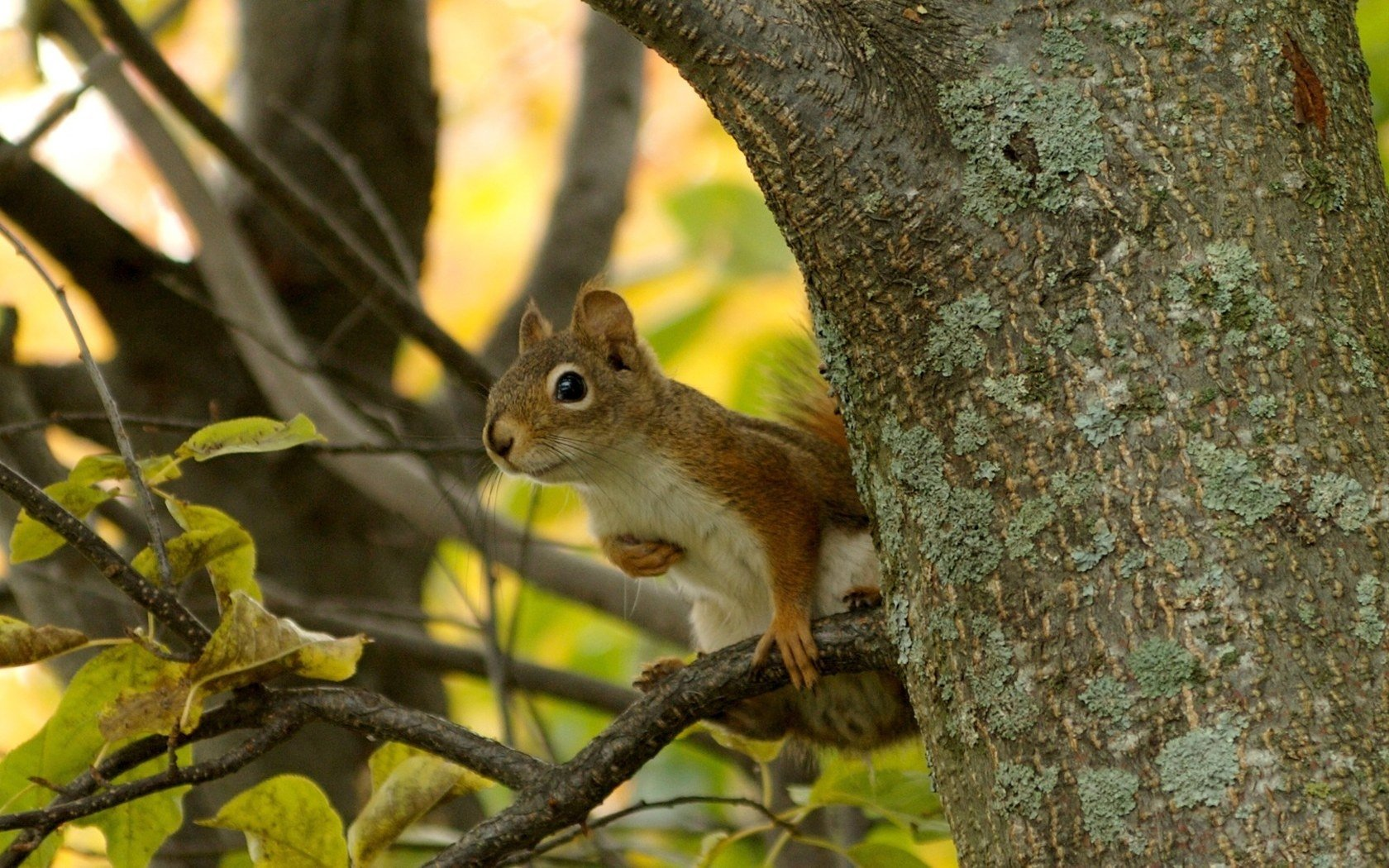 Download hd 1680x1050 Squirrel PC background ID:312069 for free
