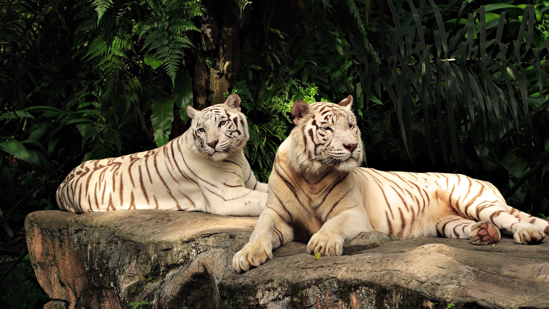 Free White Tiger high quality wallpaper ID:174908 for full hd 1080p computer
