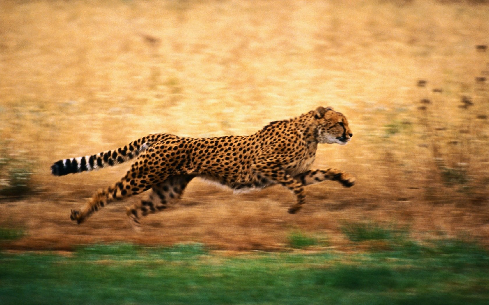 Best Cheetah wallpaper ID:161863 for High Resolution hd 1680x1050 PC