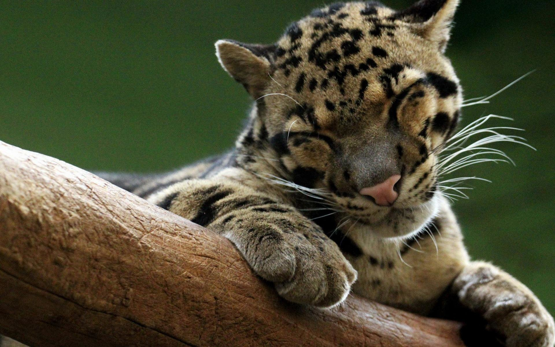 Free Clouded Leopard high quality wallpaper ID:260354 for hd 1920x1200 computer
