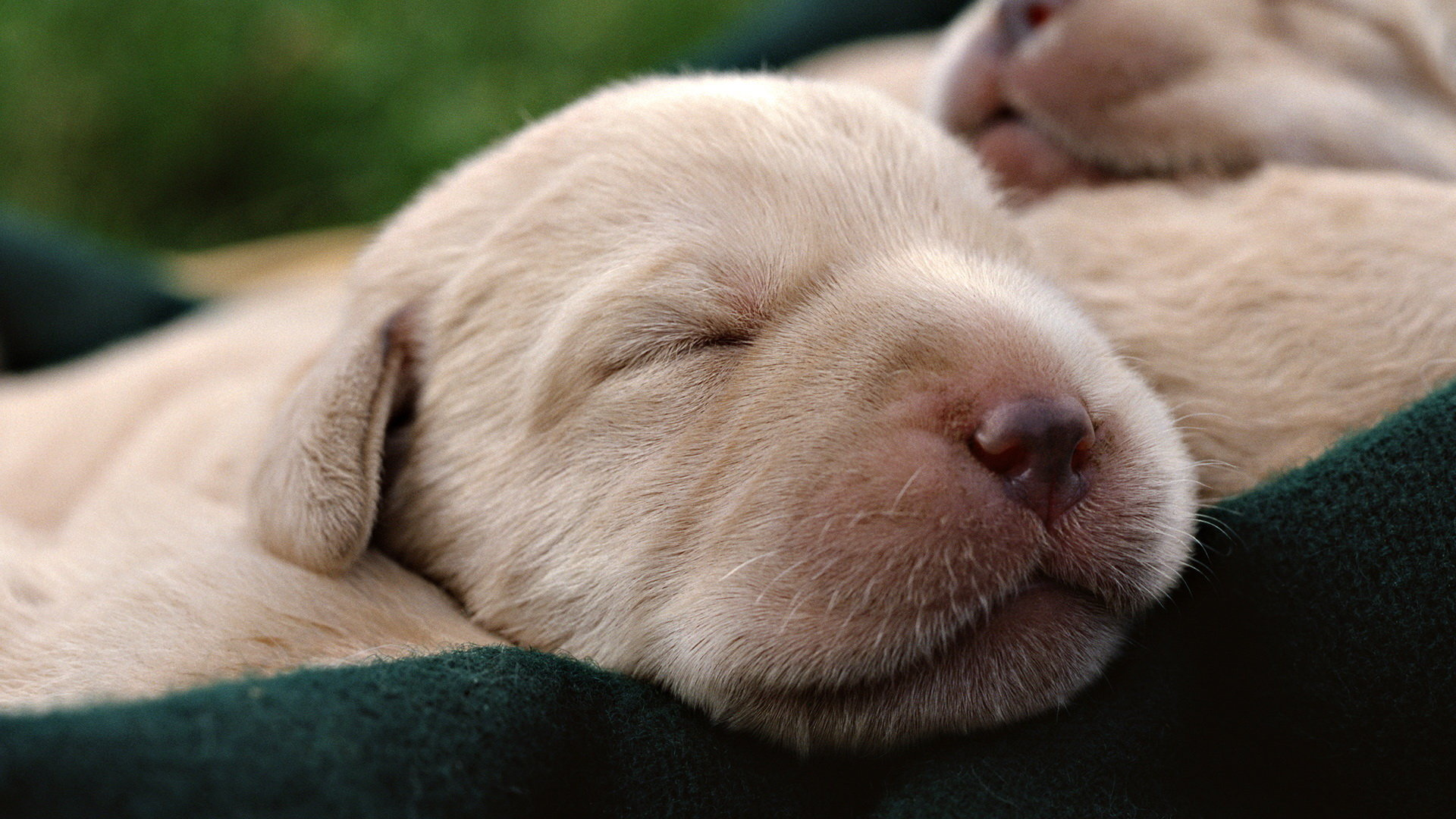 Download full hd 1080p Puppy PC background ID:46935 for free