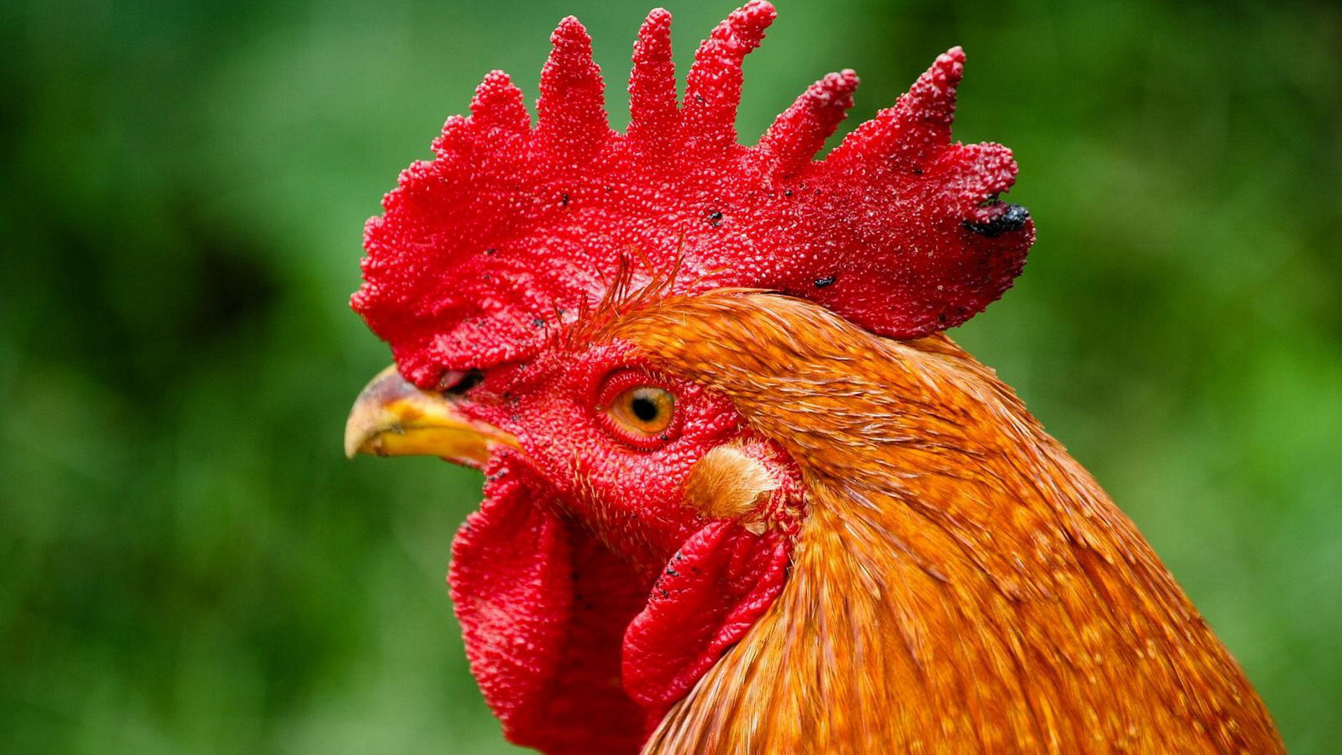 Best Rooster background ID:123588 for High Resolution hd 1080p PC