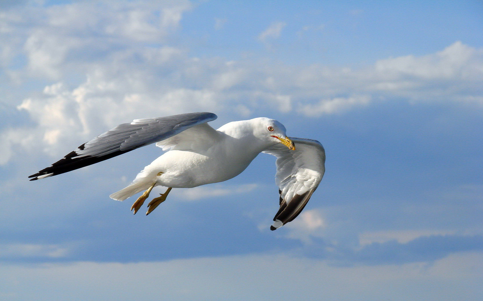 Awesome Seagull free wallpaper ID:66984 for hd 1680x1050 PC