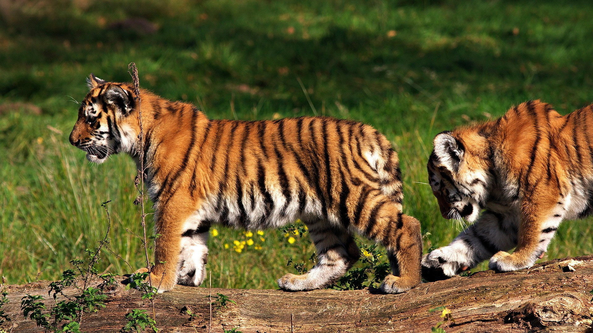 Best Tiger wallpaper ID:116337 for High Resolution 1080p PC