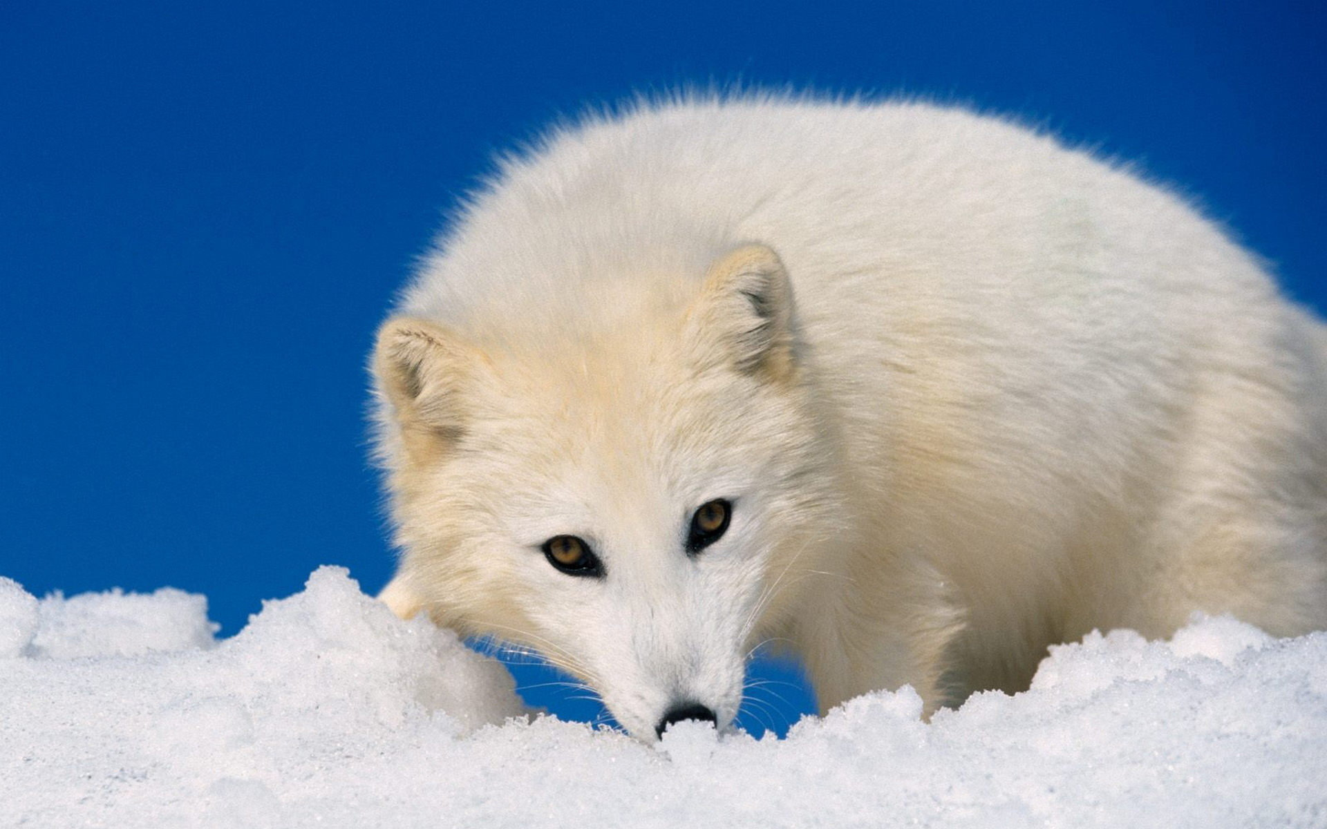 Download hd 1920x1200 Arctic Fox PC wallpaper ID:98733 for free