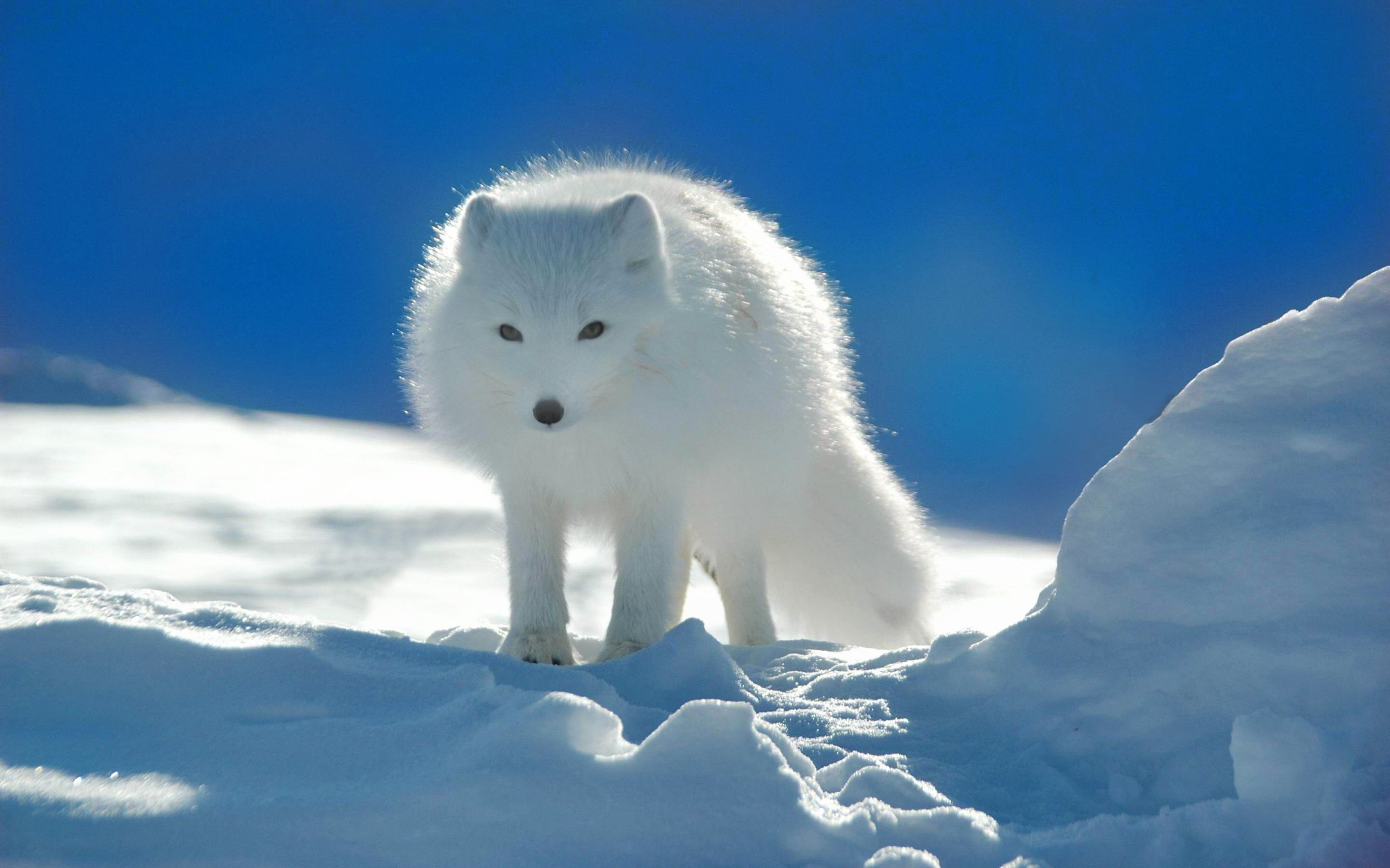 Free download Arctic Fox wallpaper ID:98720 hd 2880x1800 for computer