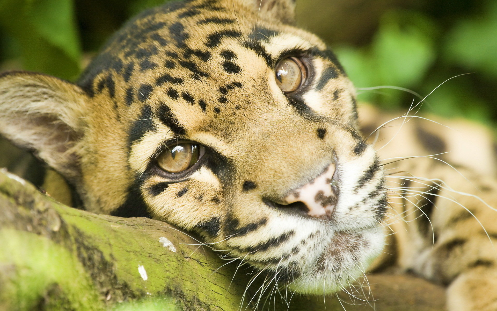 Free Clouded Leopard high quality wallpaper ID:260367 for hd 1920x1200 PC