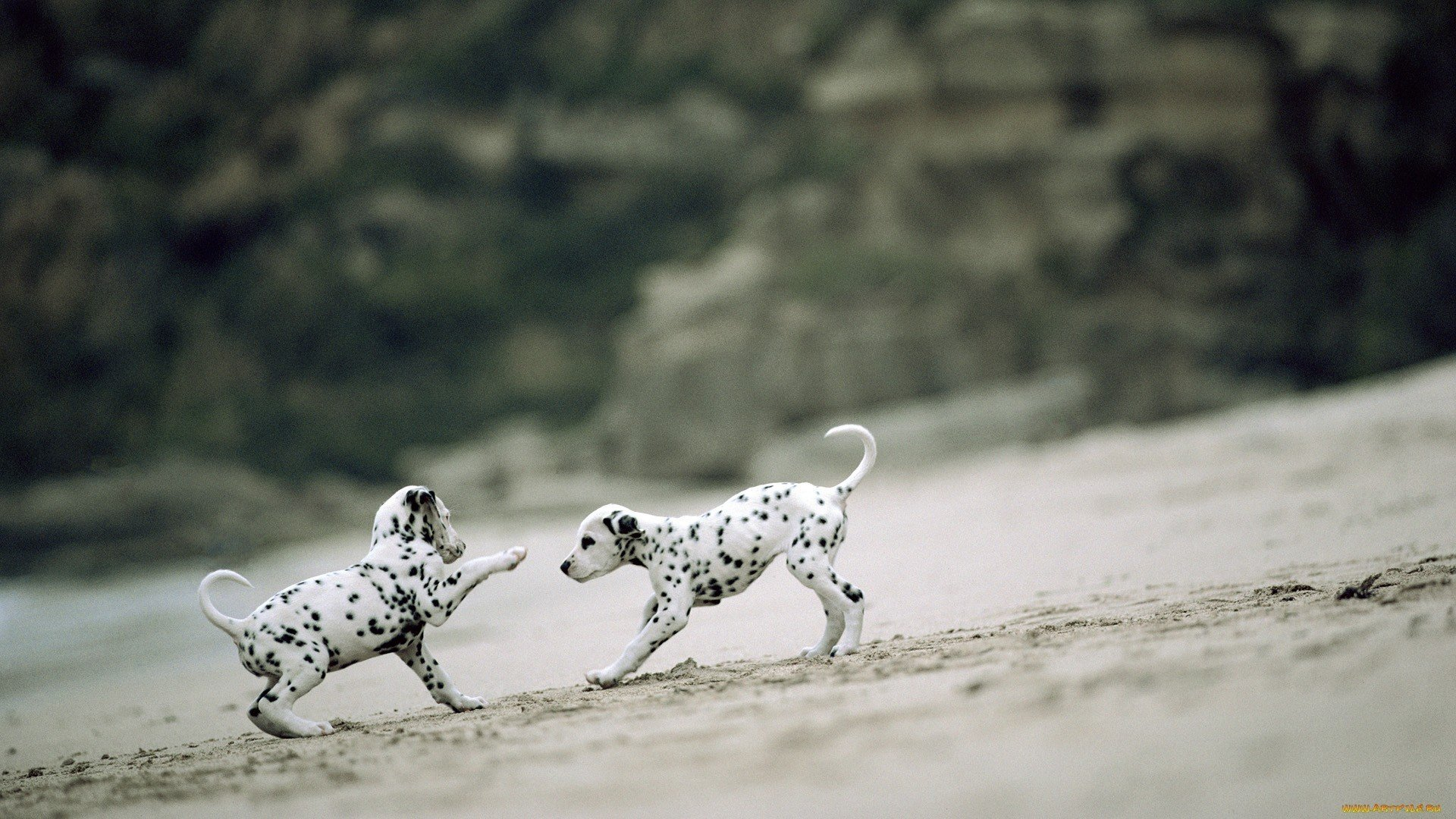 Awesome Dalmatian free wallpaper ID:433526 for hd 1080p computer