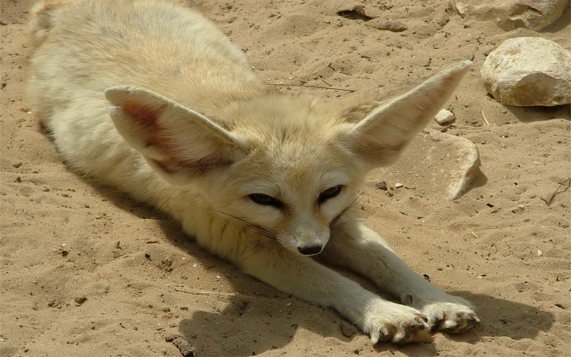 Best Fennec Fox background ID:137678 for High Resolution hd 1920x1200 PC