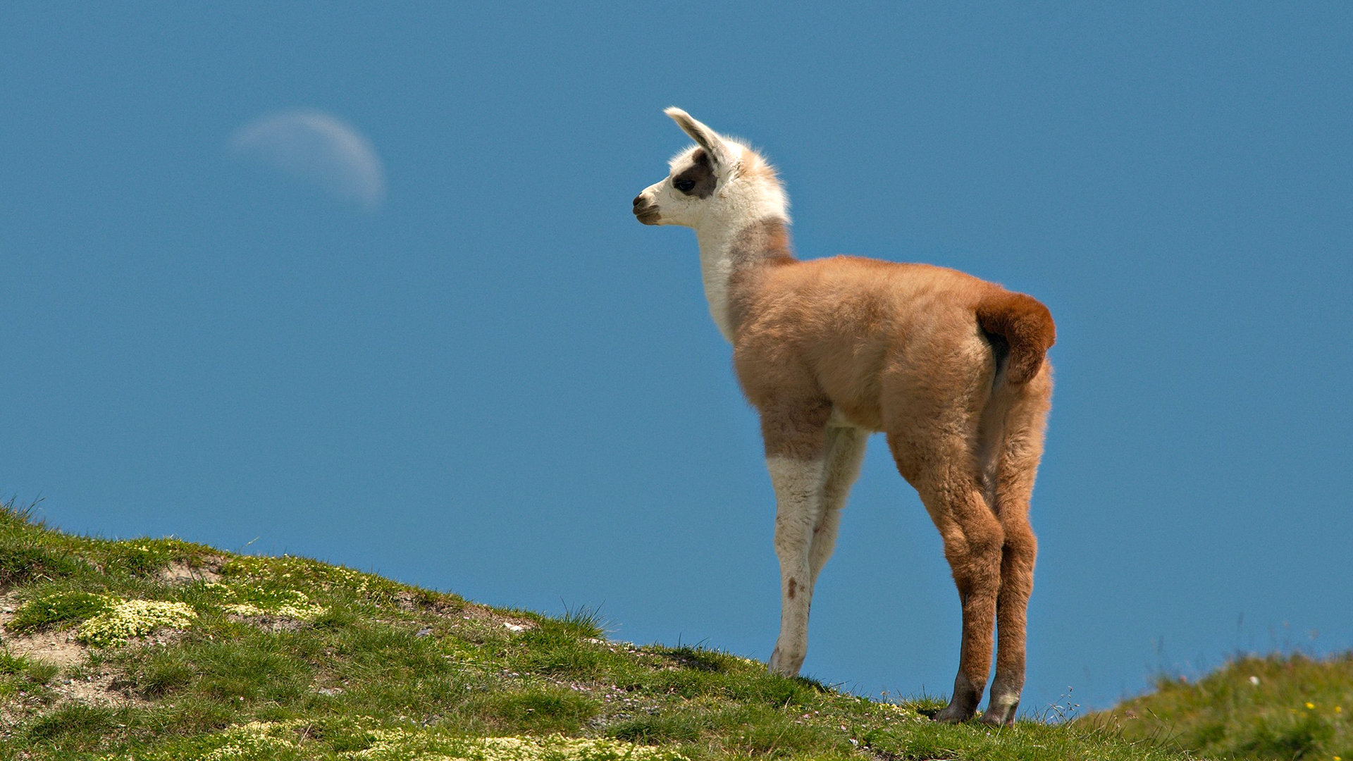 Free download Llama background ID:165670 hd 1920x1080 for PC