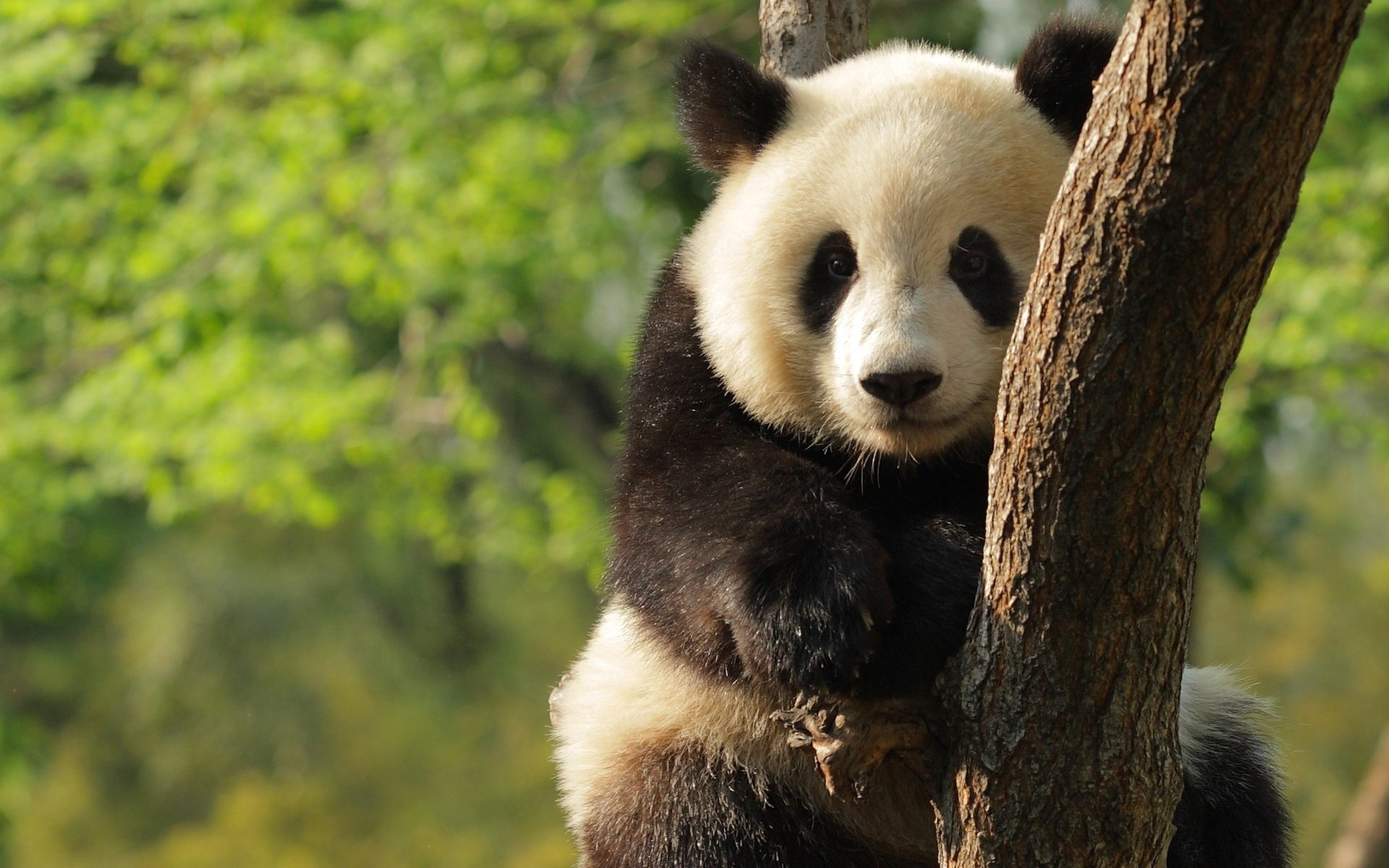 Awesome Panda free wallpaper ID:300526 for hd 1920x1200 computer