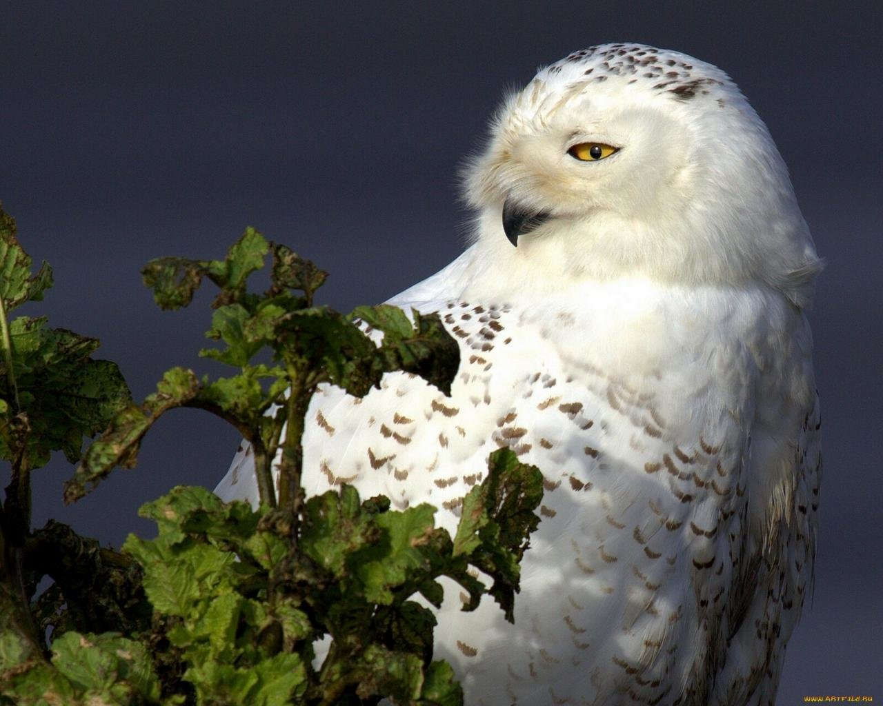 Free download Snowy Owl wallpaper ID:26794 hd 1280x1024 for PC