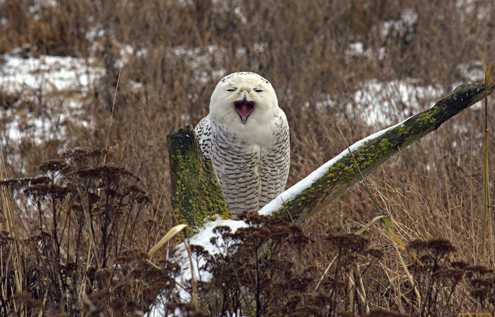 Free Snowy Owl high quality wallpaper ID:26786 for hd 1600x1024 PC