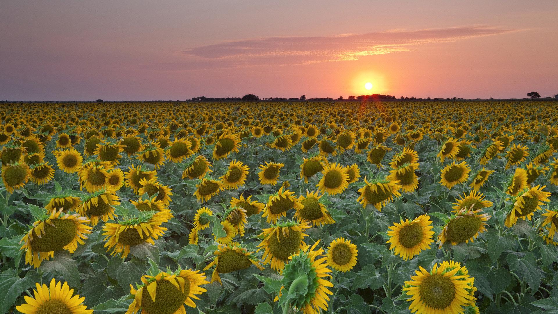 sunflower wallpaper full hd 226557