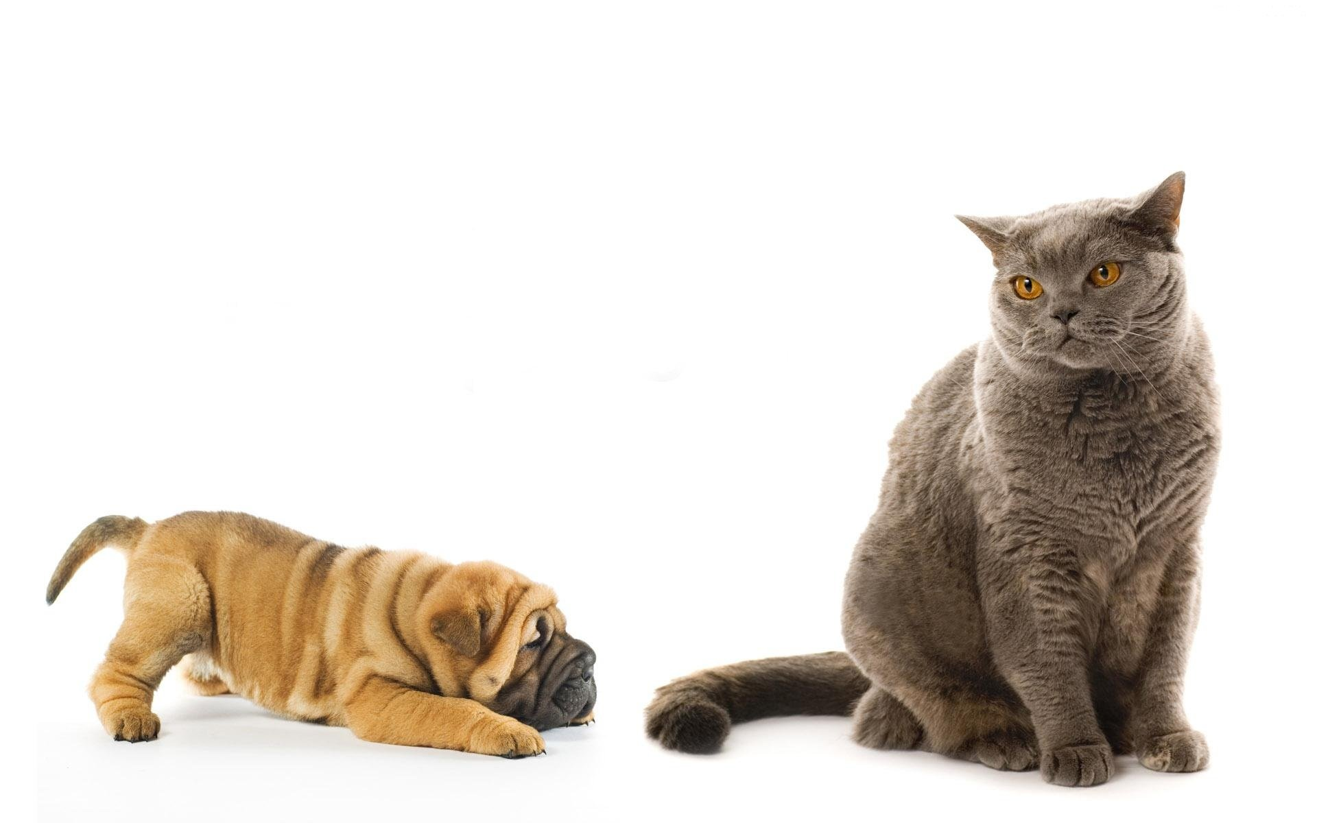 High resolution Cat and Dog hd 1920x1200 wallpaper ID:125370 for computer