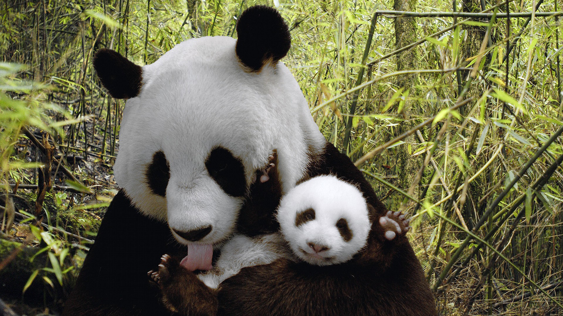 Best Panda wallpaper ID:300423 for High Resolution full hd 1080p computer
