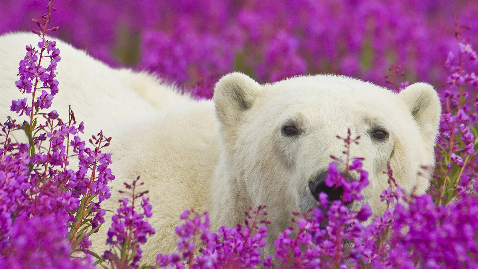 Download hd 1600x900 Polar Bear computer wallpaper ID:359867 for free