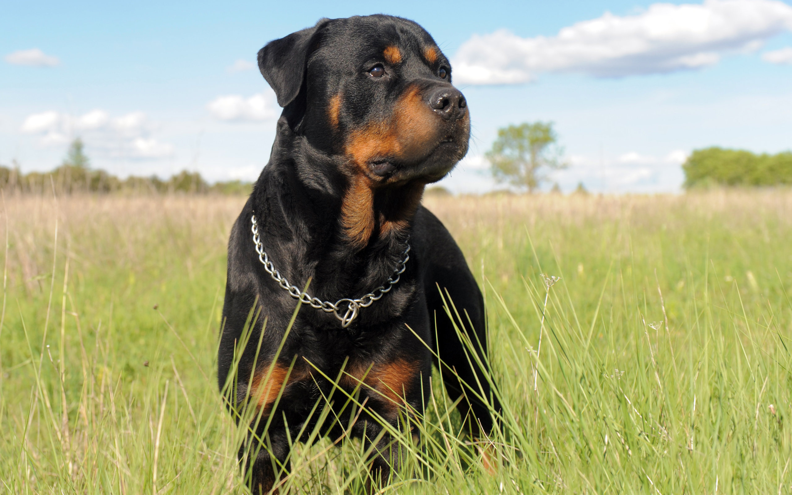 Best Rottweiler background ID:68574 for High Resolution hd 2560x1600 PC