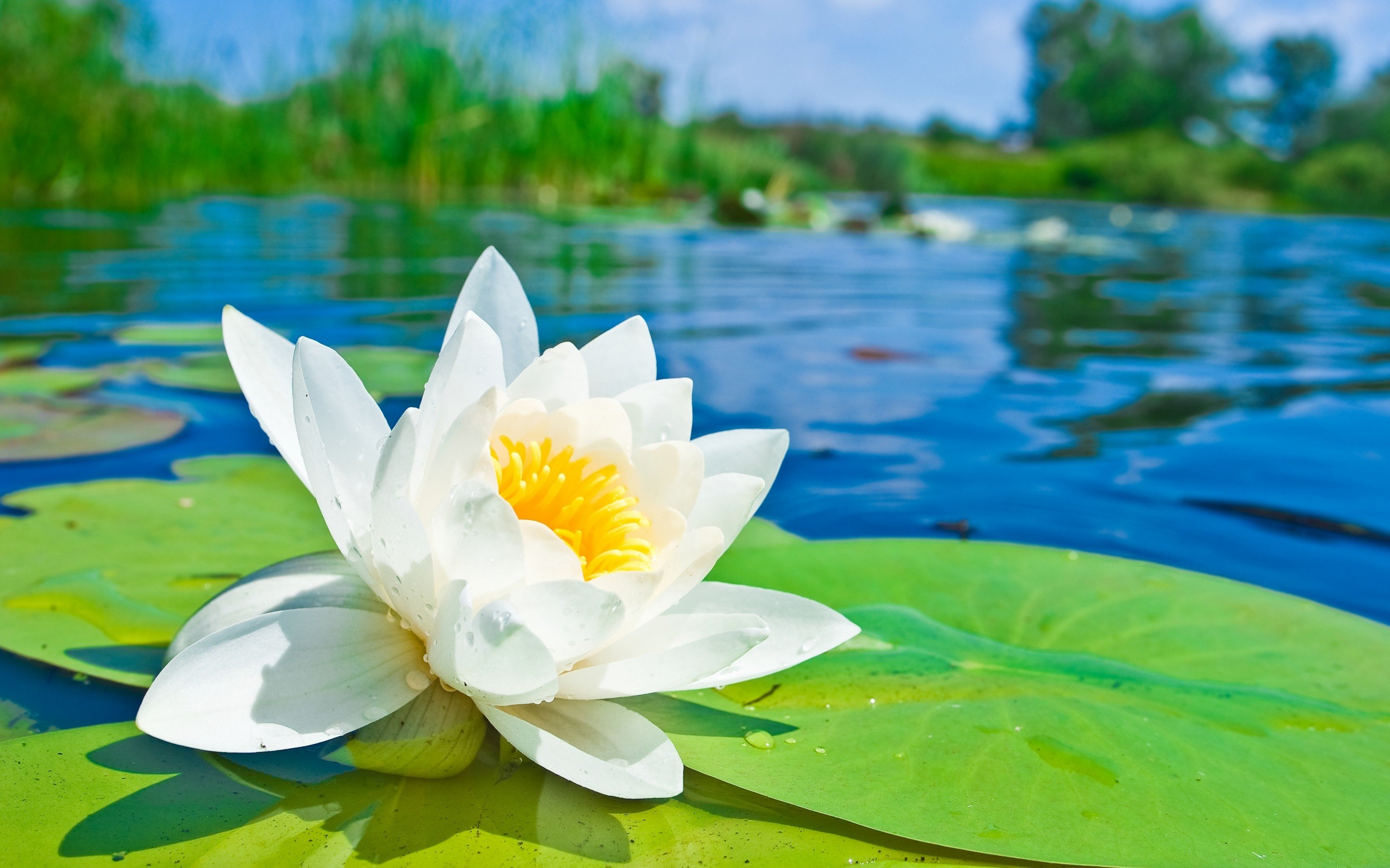 Free download Water Lily background ID:366181 hd 2880x1800 for desktop
