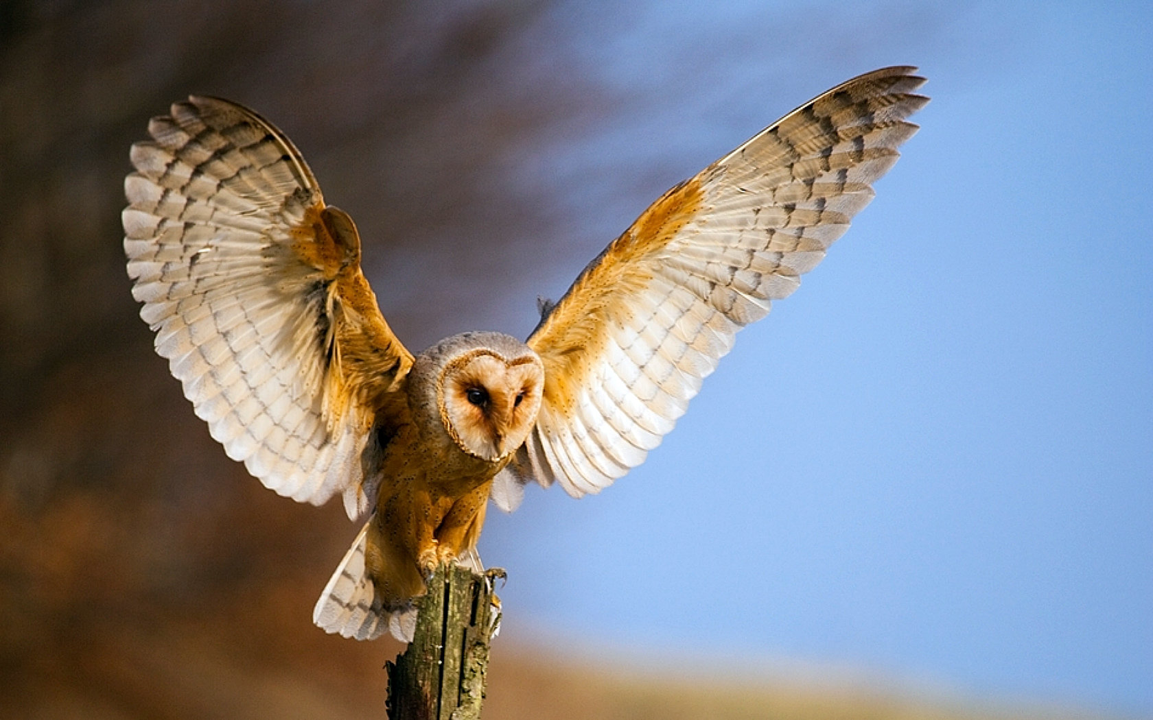 Awesome Barn Owl free wallpaper ID:81573 for hd 1680x1050 PC