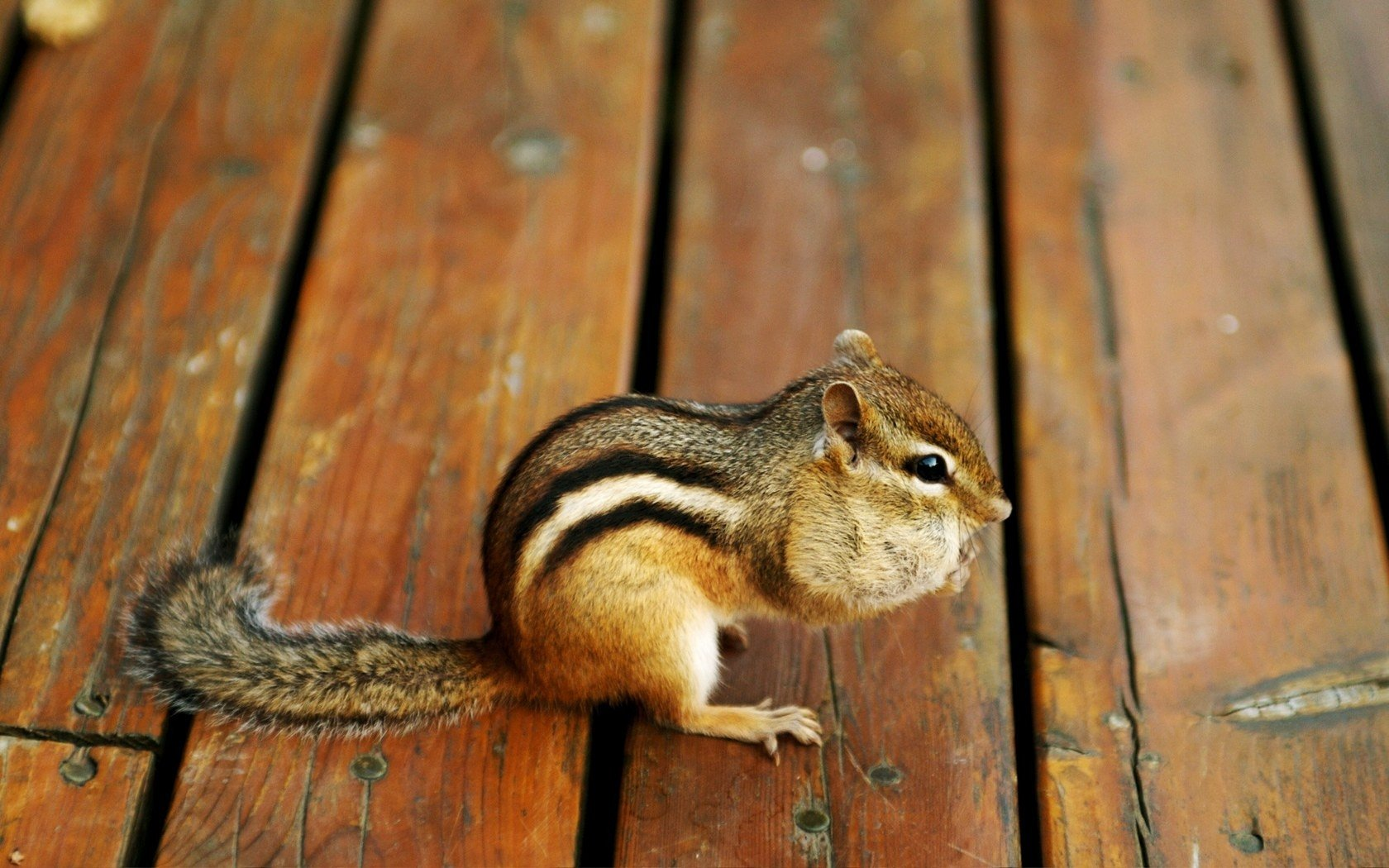 Best Chipmunk wallpaper ID:323127 for High Resolution hd 1680x1050 desktop