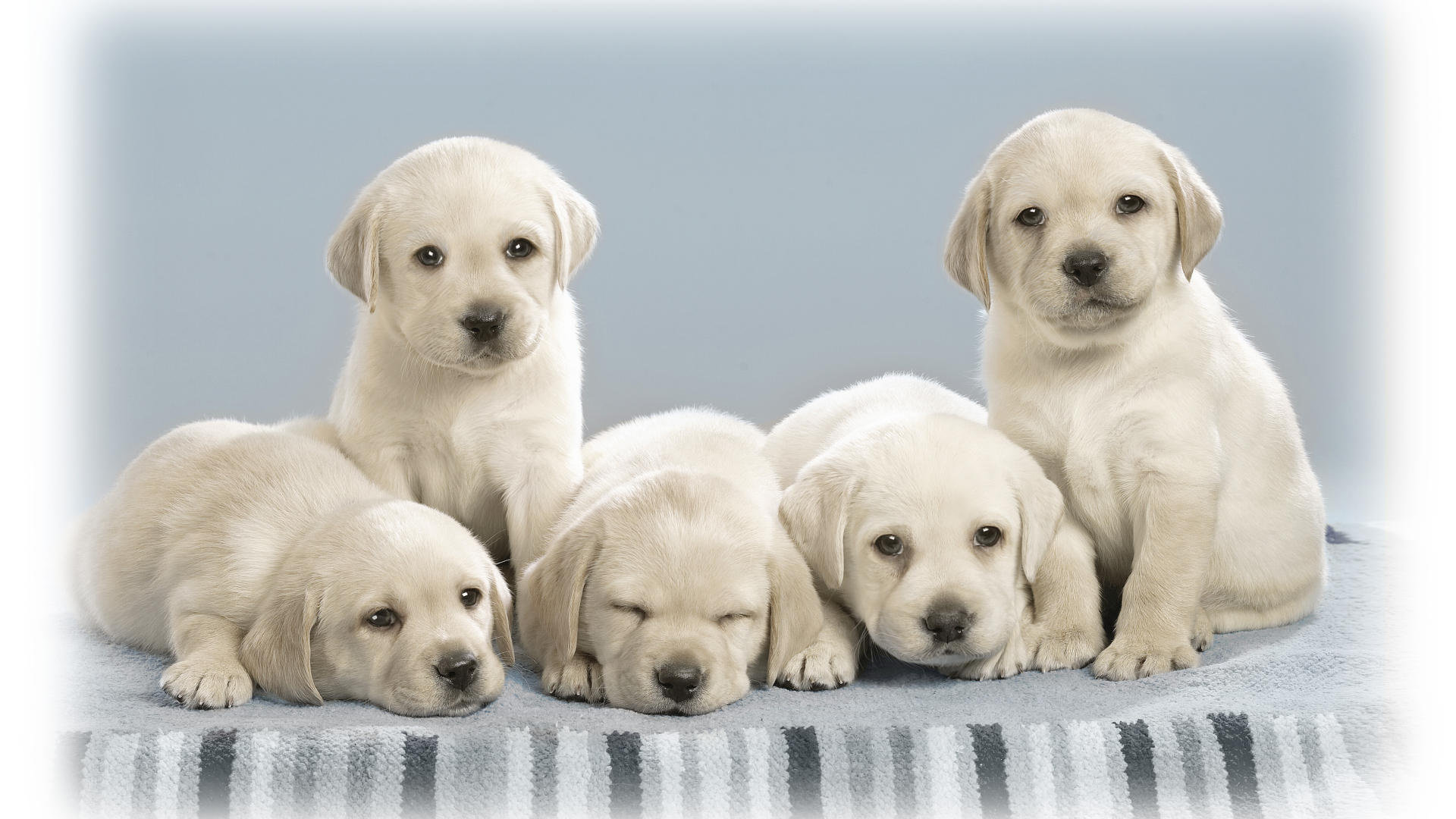 Download full hd Puppy computer background ID:46546 for free