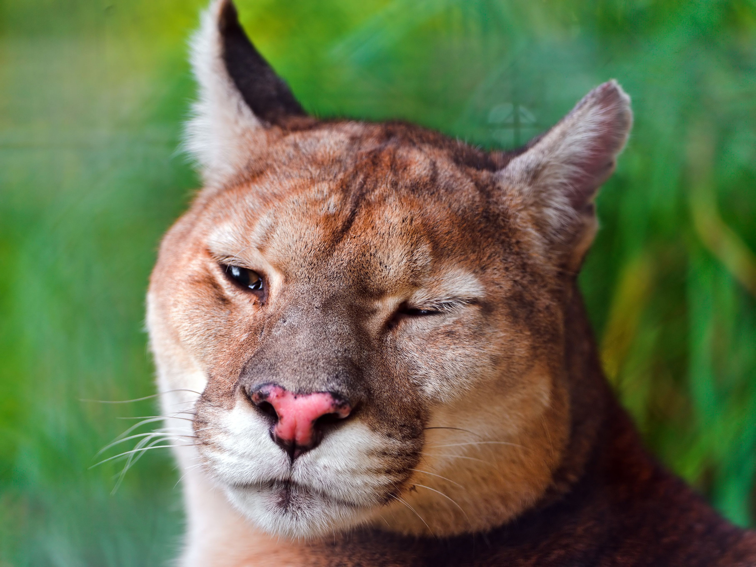 Download hd 3200x2400 Cougar PC background ID:81792 for free