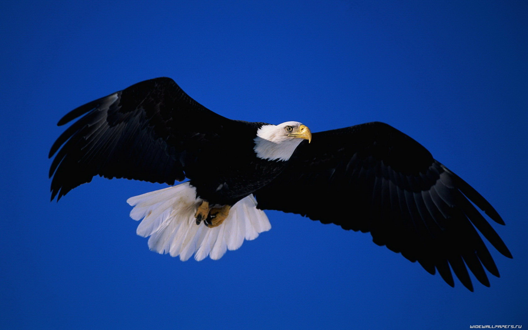High resolution Eagle hd 1680x1050 background ID:231149 for PC