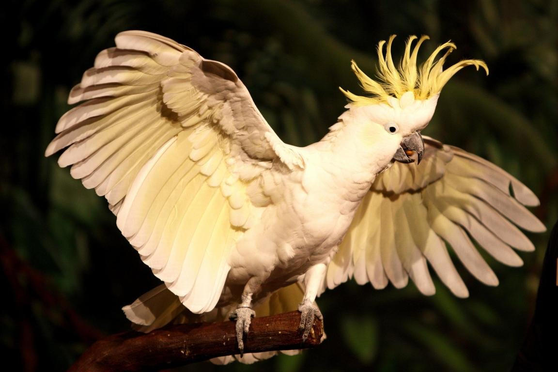 Free download Sulphur-crested Cockatoo background ID:130249 hd 1152x768 for desktop