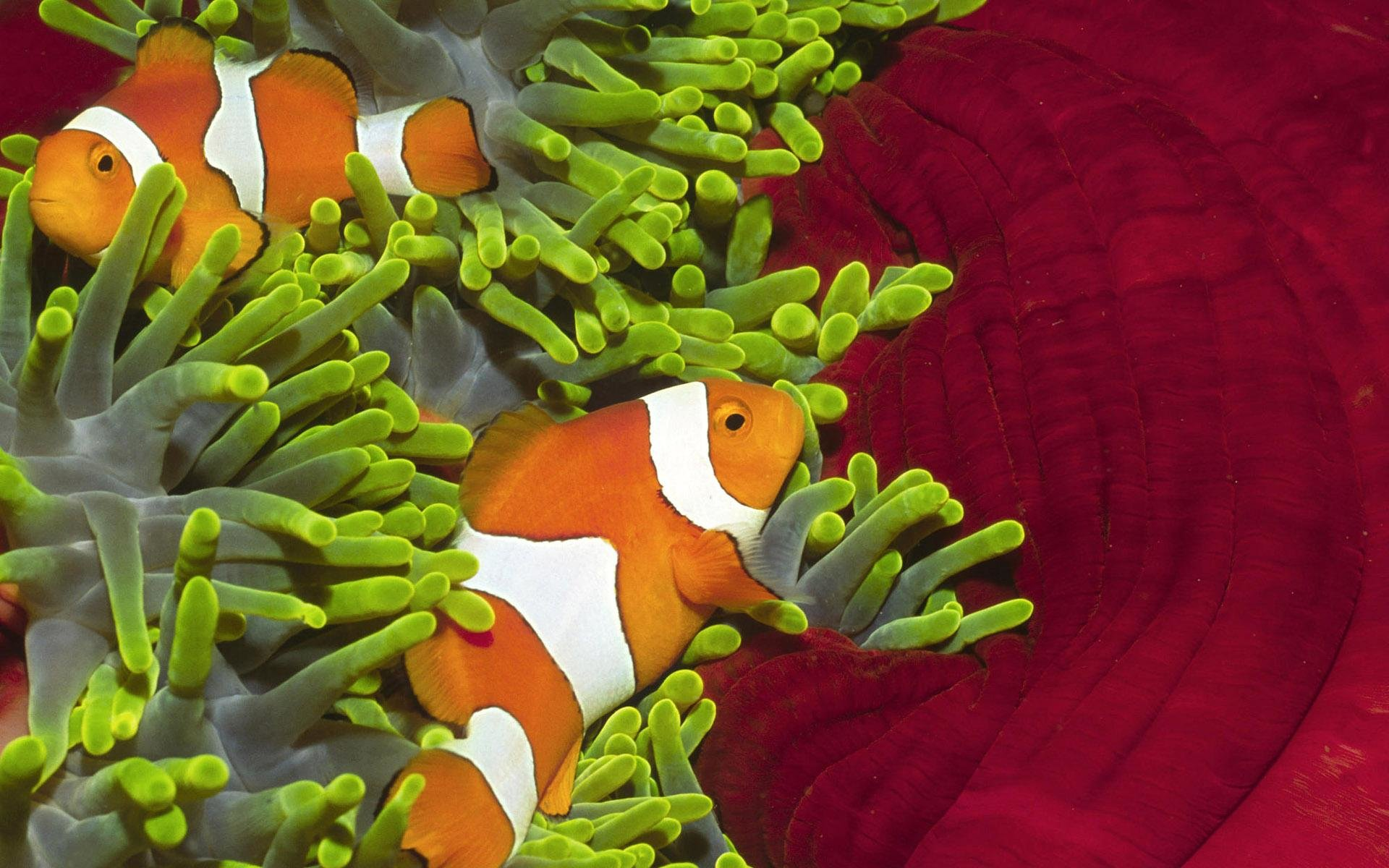 Download hd 1920x1200 Clownfish computer background ID:53251 for free
