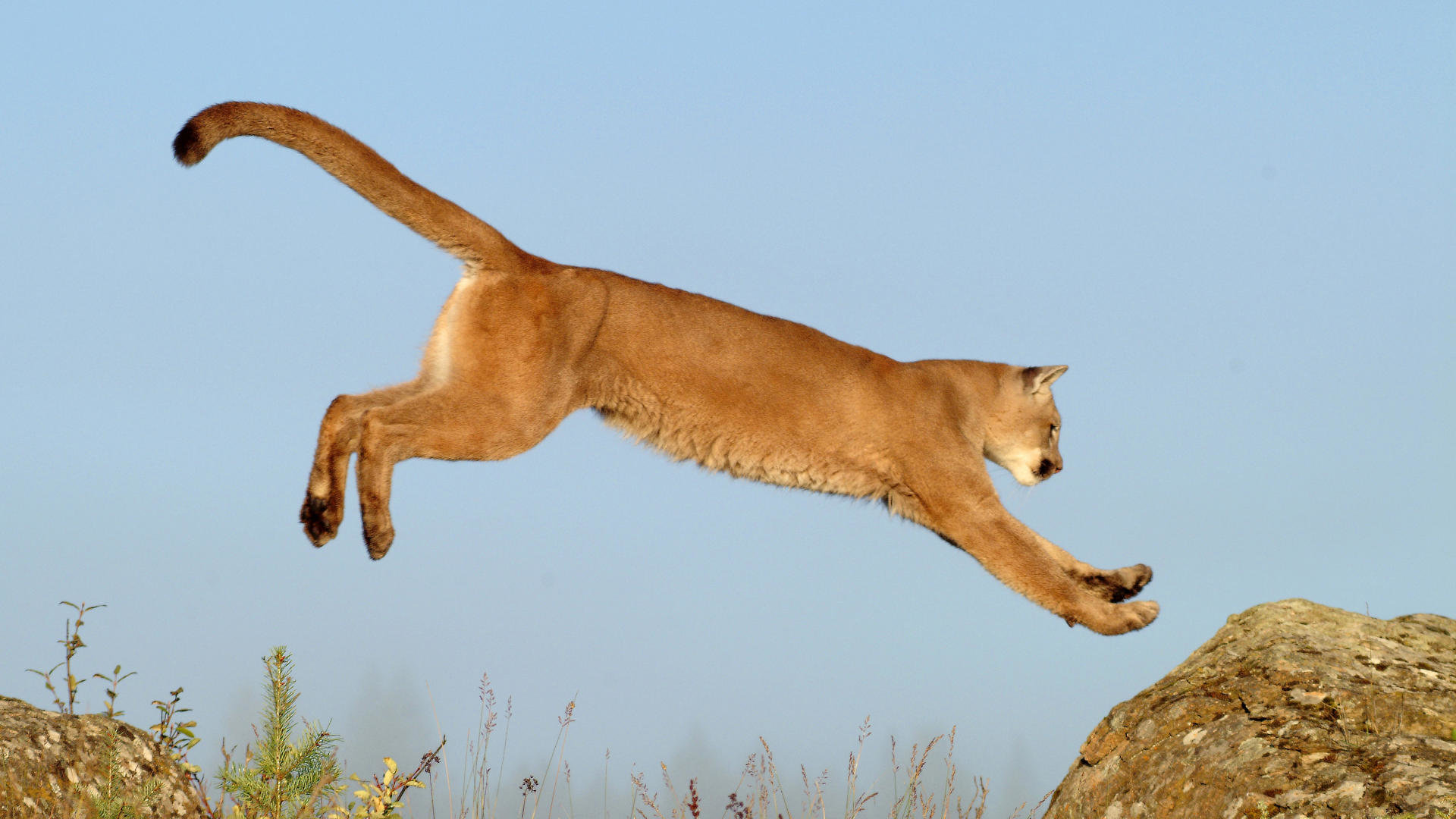 Awesome Cougar free wallpaper ID:81791 for full hd 1920x1080 computer
