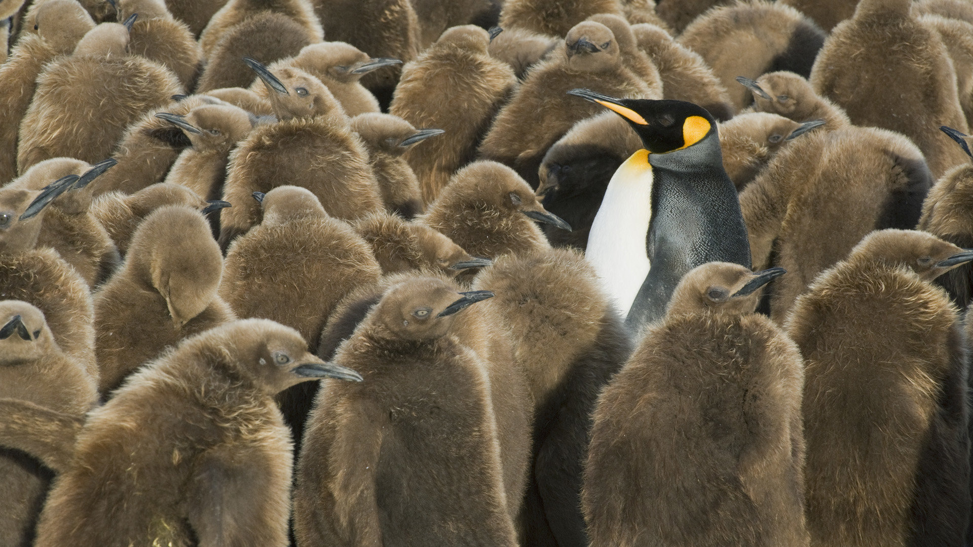 Best Emperor Penguin background ID:47931 for High Resolution hd 1920x1080 PC