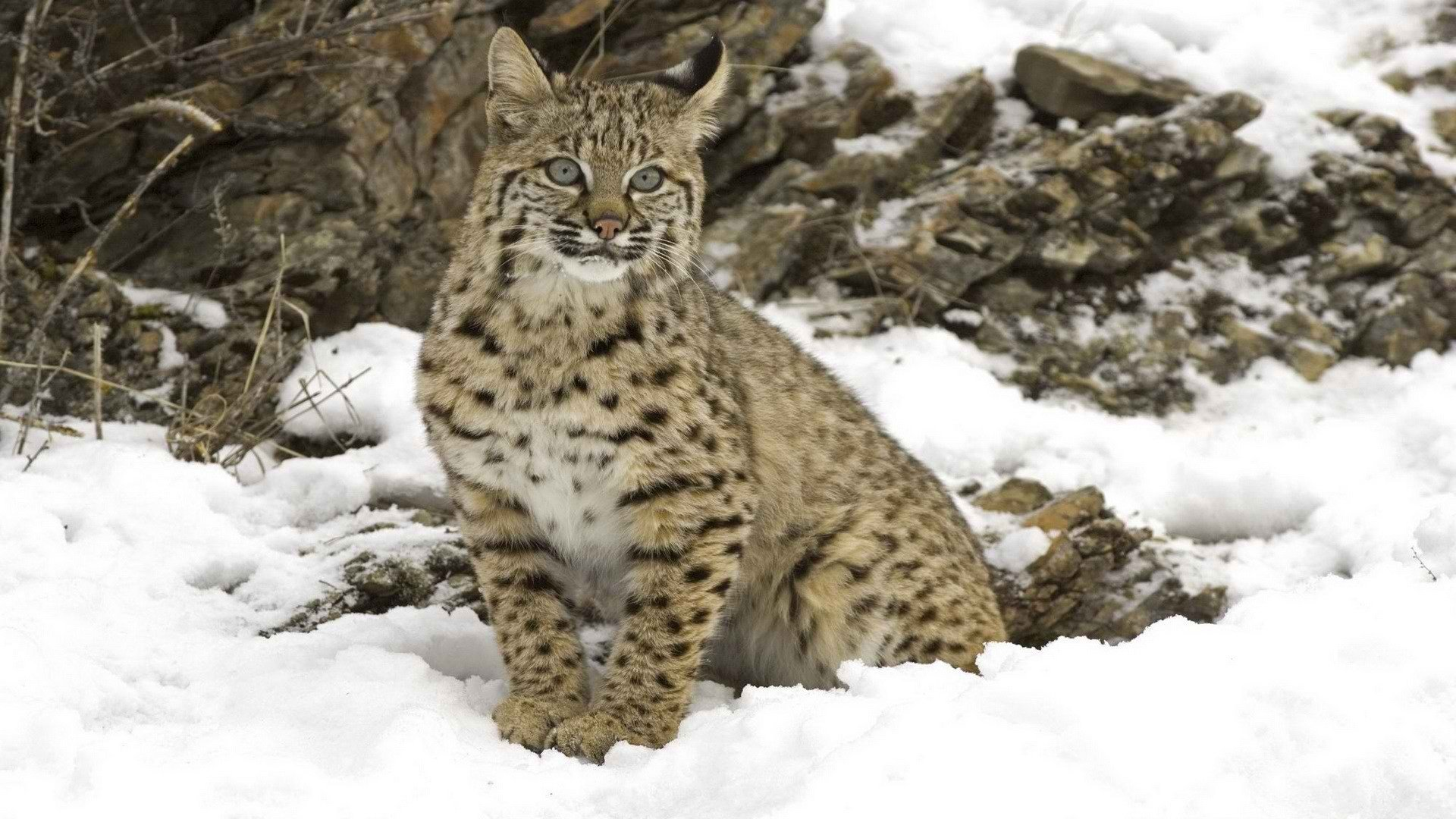 High resolution Lynx hd 1080p wallpaper ID:105749 for PC
