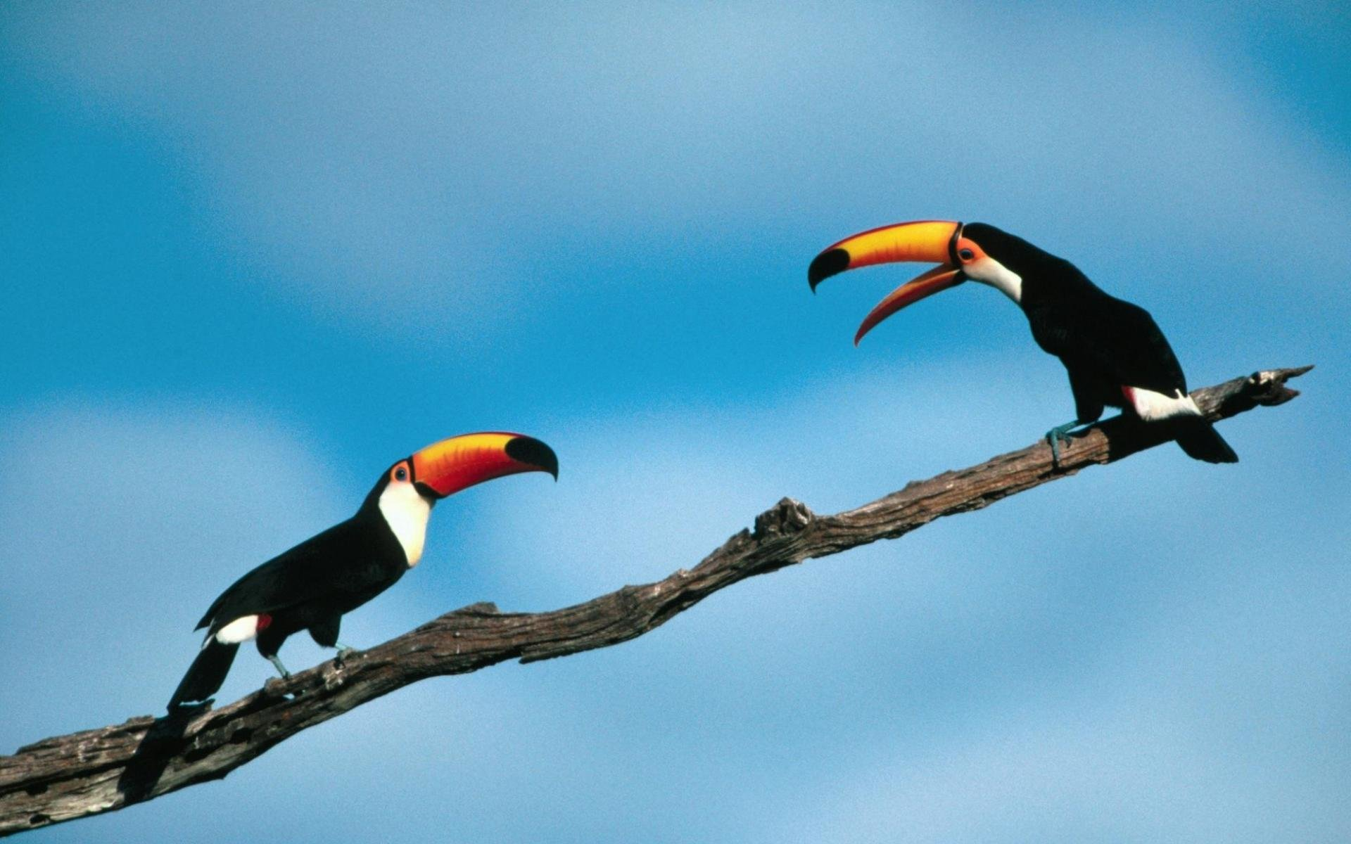 Awesome Toucan free wallpaper ID:57321 for hd 1920x1200 PC