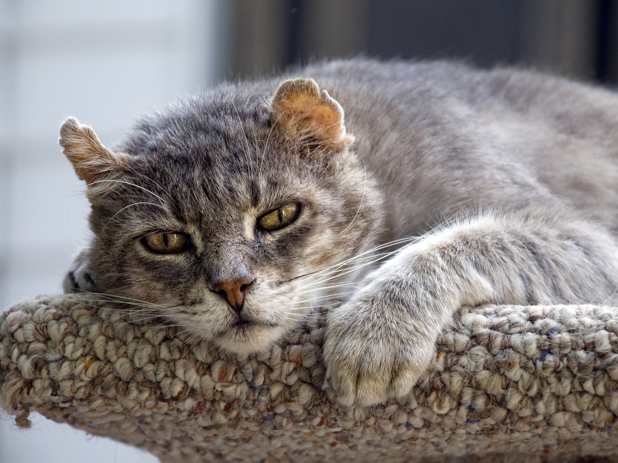 Free Wildcat high quality background ID:467259 for hd 2048x1536 computer