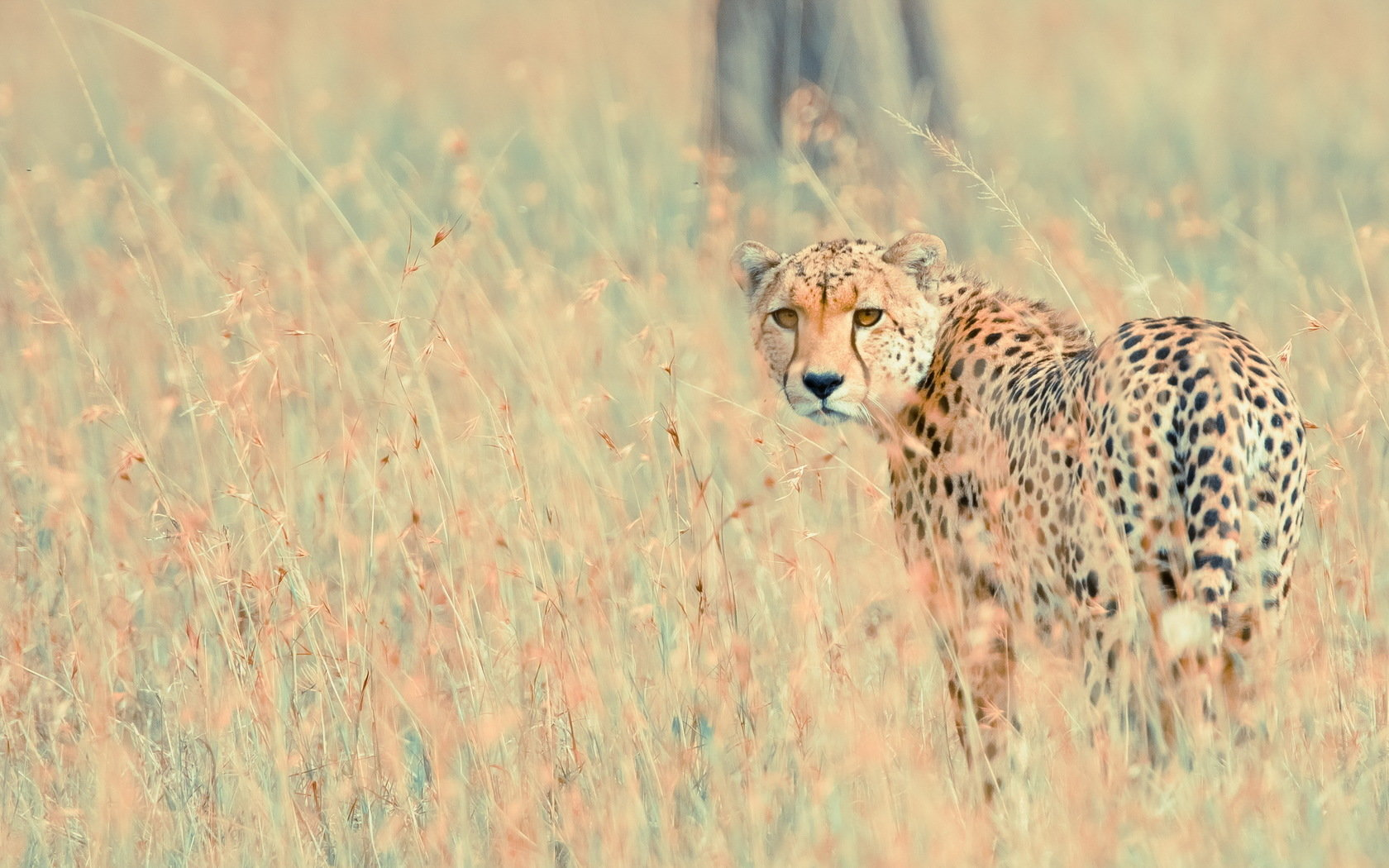 Free download Cheetah background ID:161861 hd 1680x1050 for computer