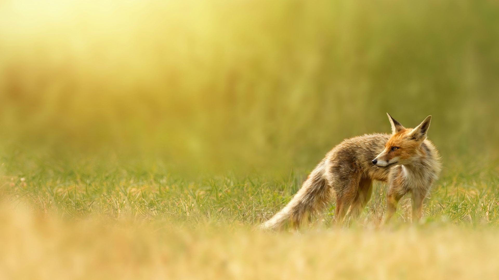 Free Fox high quality background ID:59065 for 1080p computer