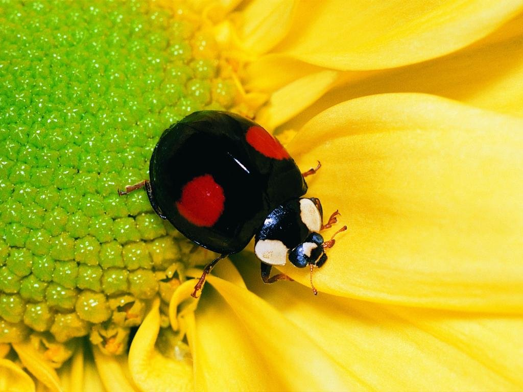Free download Ladybug wallpaper ID:270383 hd 1024x768 for computer