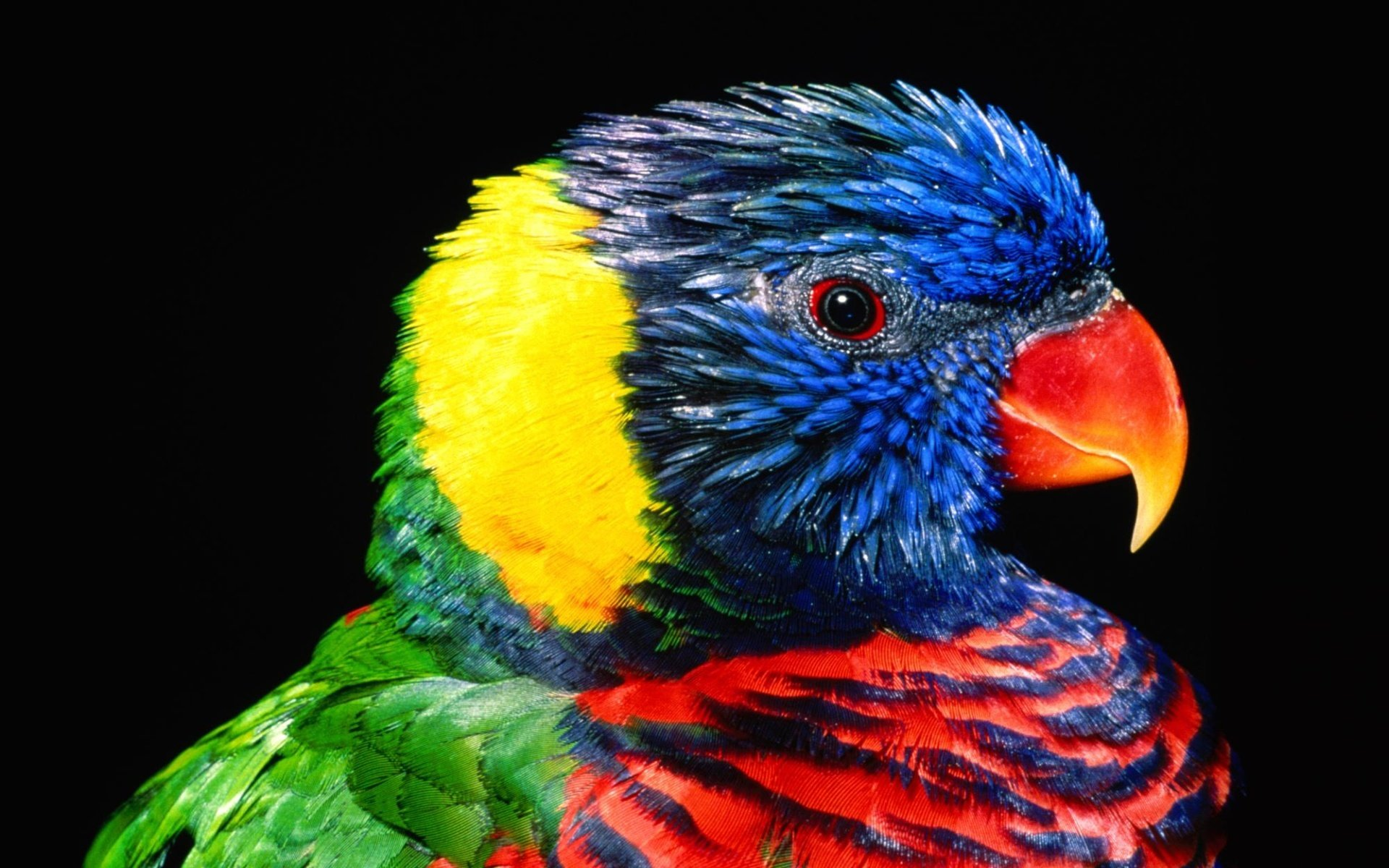 Best Rainbow Lorikeet background ID:10197 for High Resolution hd 1920x1200 PC
