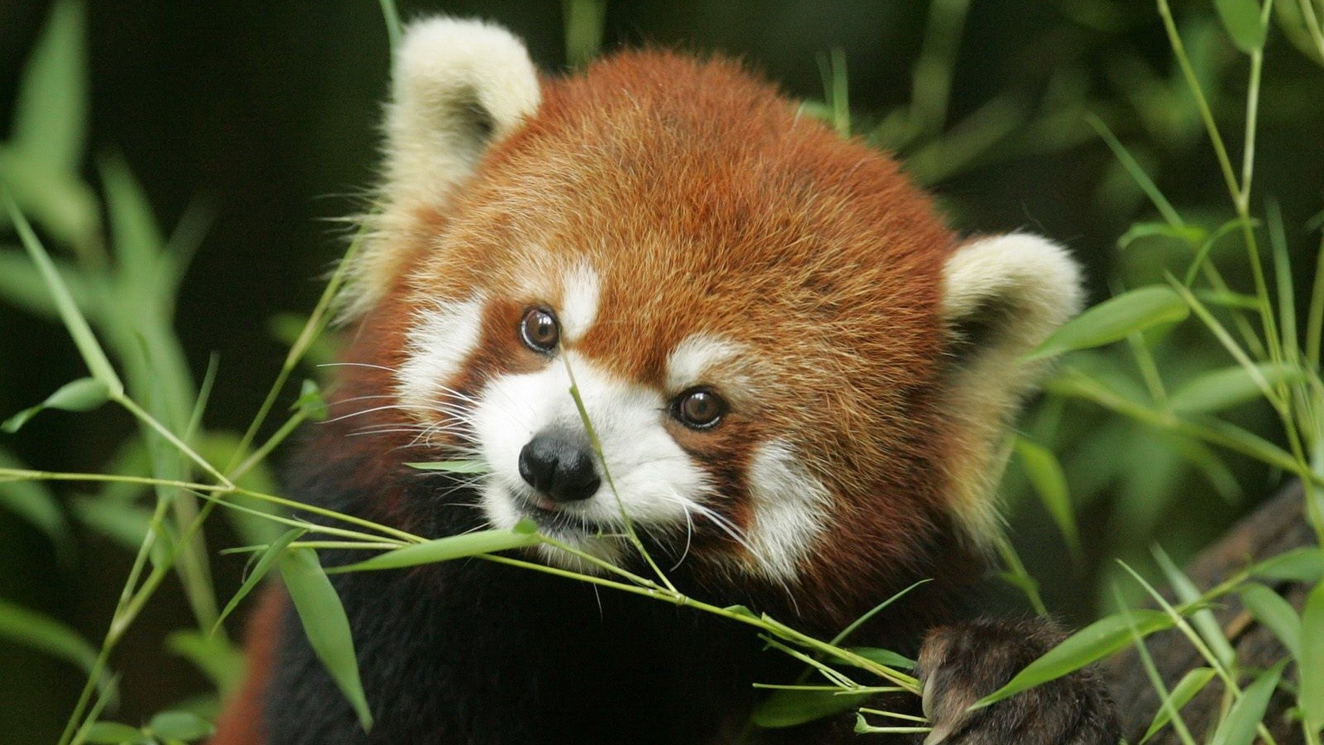 Free Red Panda high quality wallpaper ID:63963 for full hd 1080p computer