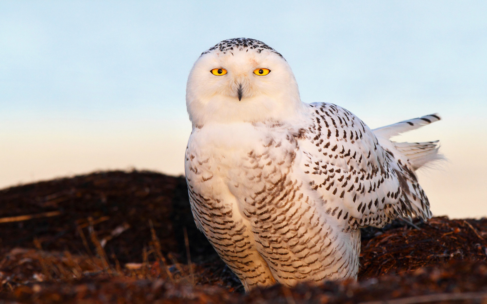 Download hd 1920x1200 Snowy Owl desktop background ID:26833 for free