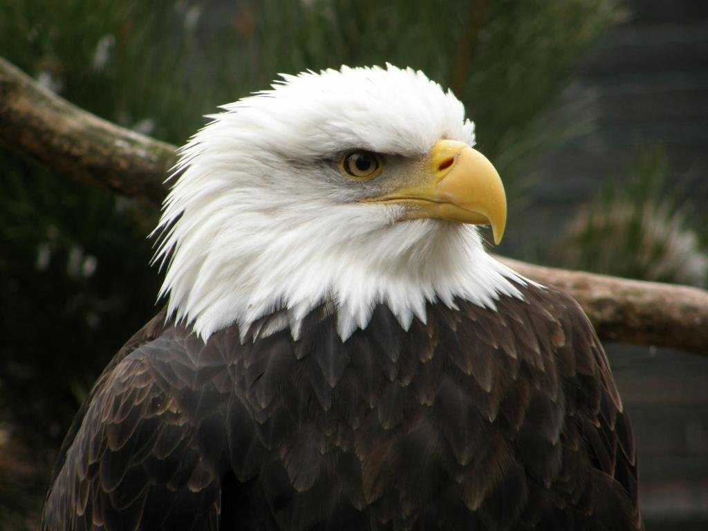 Free American Bald Eagle high quality background ID:68791 for hd 1024x768 desktop