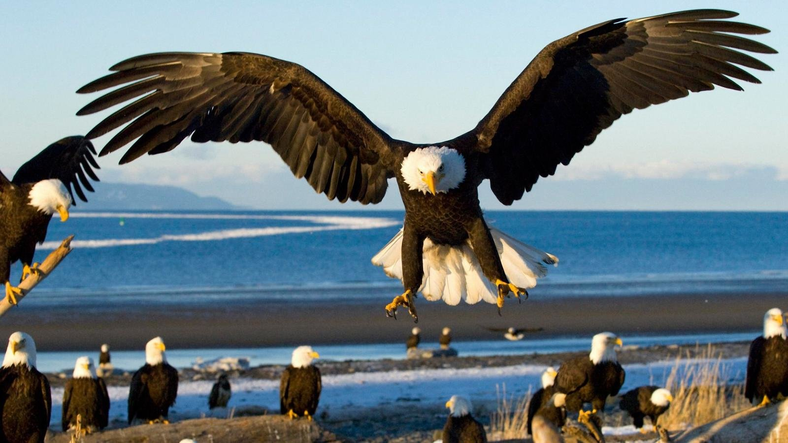 High resolution American Bald Eagle hd 1600x900 wallpaper ID:68696 for PC