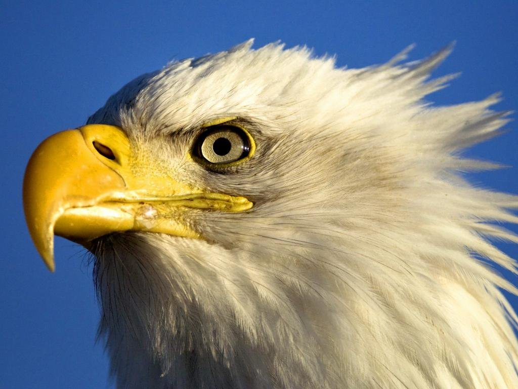 Awesome Eagle free background ID:231293 for hd 1024x768 PC