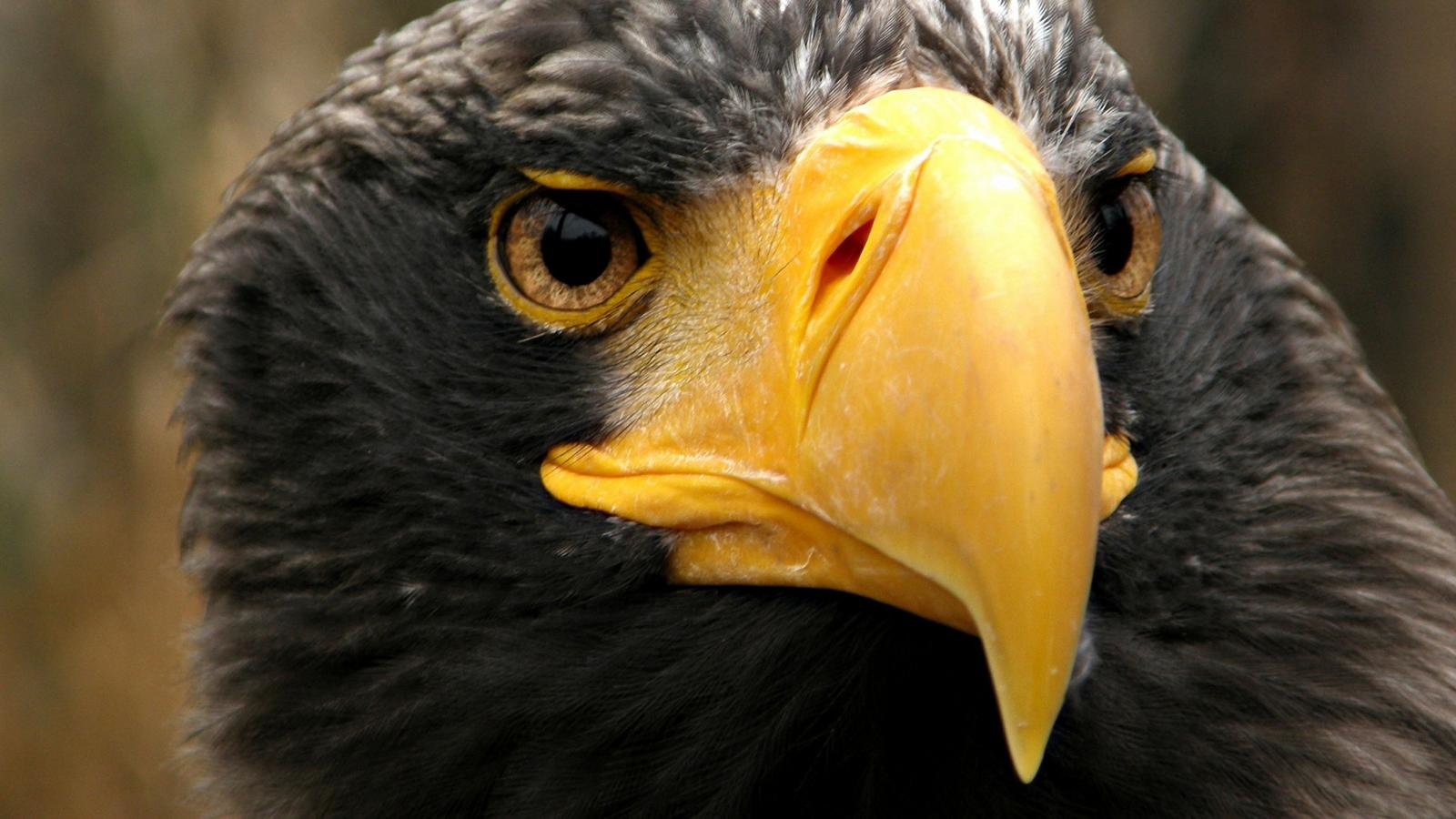 Awesome Eagle free wallpaper ID:231431 for hd 1600x900 computer